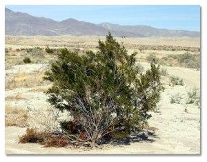 Créosote, je crée le désert autour de moi